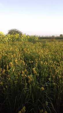 Millet (Fingermillet variety)
