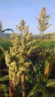 Organic Sorghum